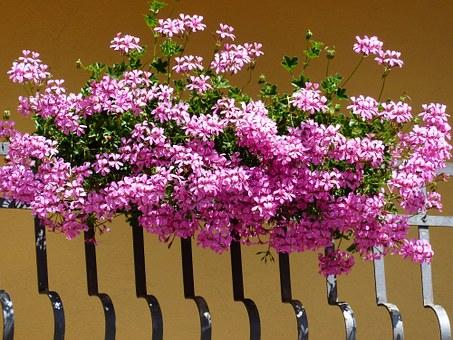 Najlepše in nezahtevne cvetlice za balkon