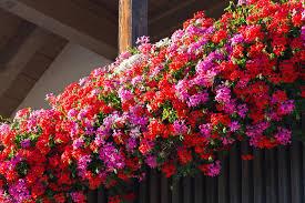 balkonske rože