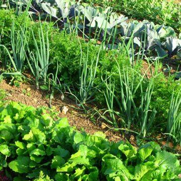 Zelenjavni vrt – ekološko pridelana zelenjava
